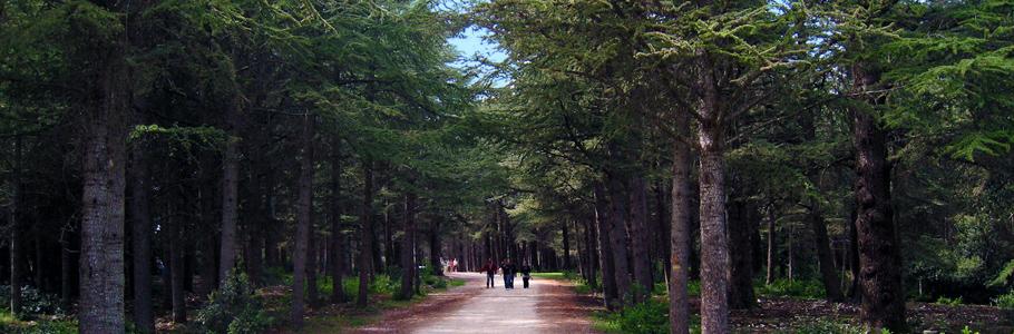 Forêt des cèdres de Bonnieux